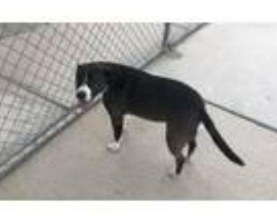 Adopt Oakley a Labrador Retriever