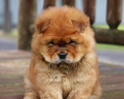 Just Arrived!!!Chow Chow Puppies❤️