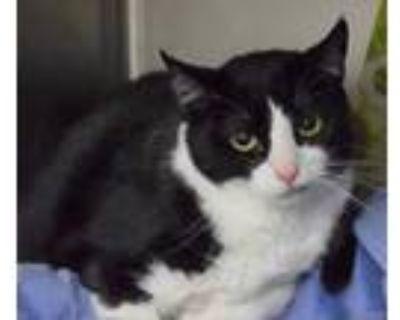 Adopt Sailor Hemmingway a All Black Domestic Shorthair / Domestic Shorthair /