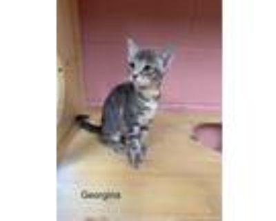 Adopt Georgina a Gray or Blue Domestic Shorthair / Domestic Shorthair / Mixed