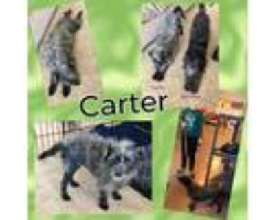 Adopt Carter a Black - with Gray or Silver Schnauzer (Miniature) / Mixed dog in