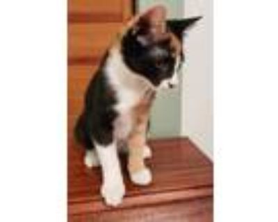 Adopt Autumn a Black & White or Tuxedo Domestic Shorthair / Mixed cat in