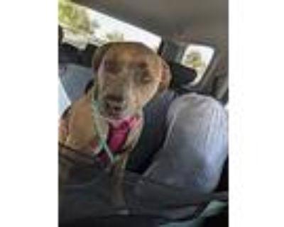 Dazzle/ginger, American Pit Bull Terrier For Adoption In Mesa, Arizona