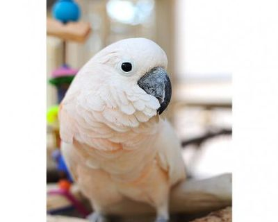 Female Cockatoo named Daisy available for adoption