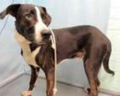 Adopt BOBERT a Brindle - with White Labrador Retriever / Mixed dog in Gardena