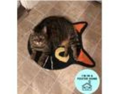 Adopt Stripes a Gray or Blue Domestic Shorthair / Domestic Shorthair / Mixed cat