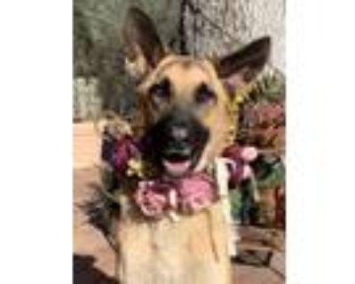 Adopt Josie a German Shepherd Dog