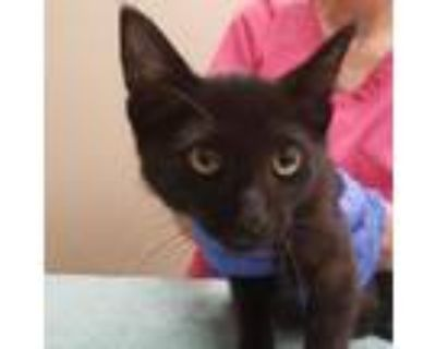 Adopt Franklin a All Black Domestic Shorthair / Mixed cat in Tempe