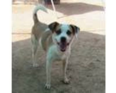 Adopt Penny a White - with Brown or Chocolate Hound (Unknown Type) / Jack