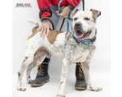 Adopt Luke a White American Pit Bull Terrier / Mixed dog in Indianapolis
