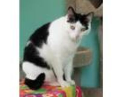 Adopt Penny a White Domestic Shorthair / Domestic Shorthair / Mixed cat in