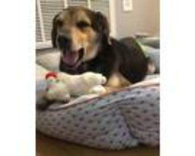 Adopt BEN (SYMBA) a Beagle / Mixed dog in Gloucester, VA (31621648)