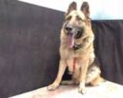 Adopt KOBE a Black - with Tan, Yellow or Fawn German Shepherd Dog / Mixed dog in
