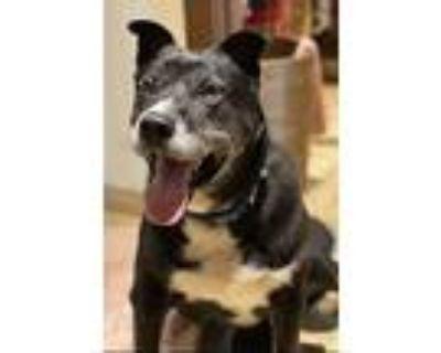 Romeo, Labrador Retriever For Adoption In Torrance, California