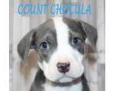 Adopt Count Choucula a White American Staffordshire Terrier / Mixed dog in