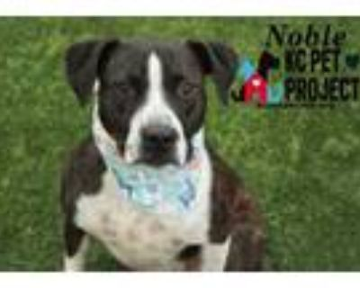 Adopt Noble a Black Labrador Retriever / Hound (Unknown Type) / Mixed dog in