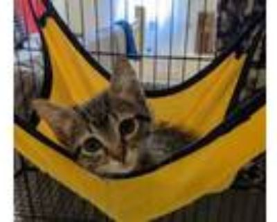 Adopt Nimue a Brown or Chocolate Domestic Shorthair / Domestic Shorthair / Mixed