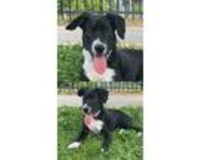 Adopt Tilly a Labrador Retriever / Mixed dog in Chantilly, VA (31602190)