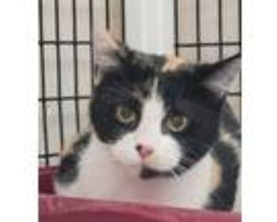Adopt Missy a Calico