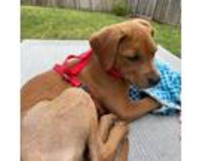 Adopt Keaton a Red/Golden/Orange/Chestnut Labrador Retriever / Mixed dog in