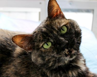 Lily Torti - Domestic Shorthair - Adult Female