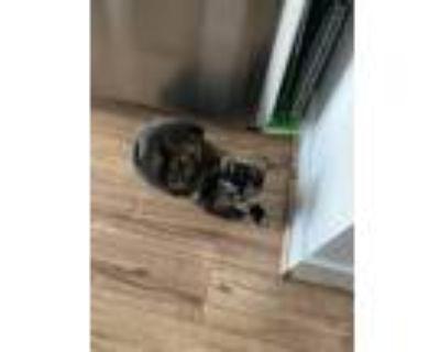 Adopt Yukina a Tortoiseshell Domestic Shorthair / Mixed (short coat) cat in