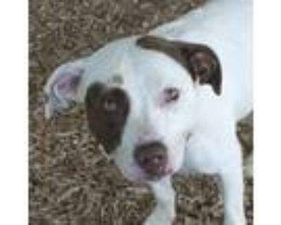 Adopt Roxy a White - with Red, Golden, Orange or Chestnut Pit Bull Terrier /