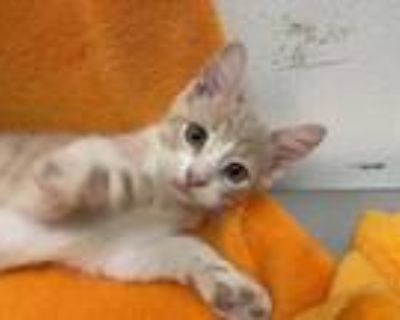 Adopt Berry Cosmo a Cream or Ivory Domestic Shorthair / Mixed cat in Boulder