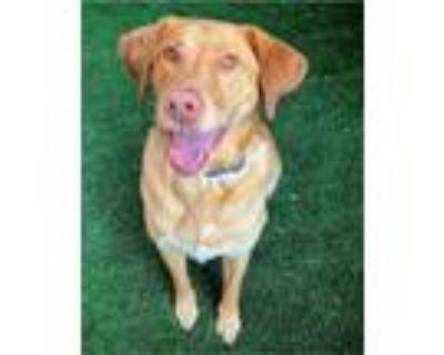 Adopt Dash a Tan/Yellow/Fawn Labrador Retriever / Chesapeake Bay Retriever /