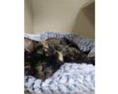 Adopt Astrid a Domestic Shorthair / Mixed (short coat) cat in Portsmouth