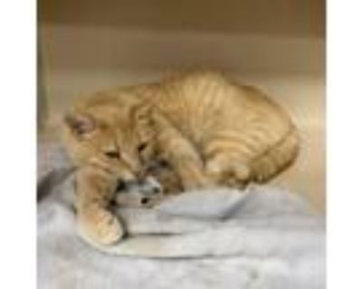 Adopt Alfred a Orange or Red Domestic Shorthair / Mixed cat in Blasdell