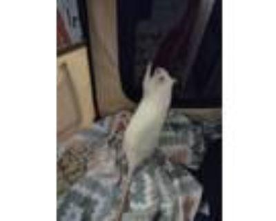 Adopt Boba & Snow Storm a Rat