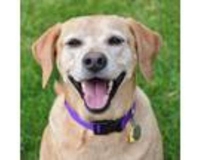 Adopt Annie a Yellow Labrador Retriever