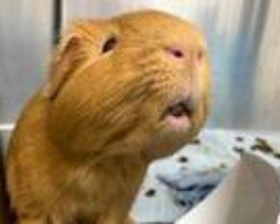 Adopt BUTTERFINGERS a Golden Guinea Pig / Mixed small animal in Boston