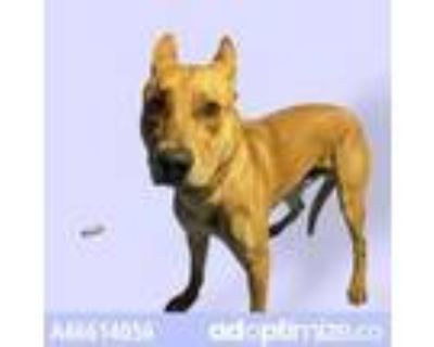 Adopt Scooby a Tan/Yellow/Fawn American Pit Bull Terrier / Mixed dog in El Paso
