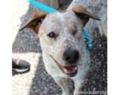 Adopt Klaus a Australian Cattle Dog / Blue Heeler