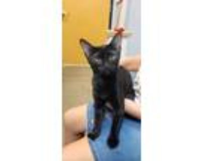 Adopt Archie Lilly a Domestic Short Hair