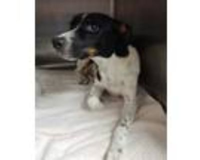 Adopt Coqueta a White Fox Terrier (Smooth) / Pointer / Mixed dog in Fort Worth