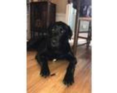 Adopt Jed a Labrador Retriever, Golden Retriever