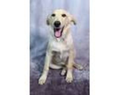 Adopt The Chefs - Helen Rizzo a Tan/Yellow/Fawn Great Pyrenees / Labrador