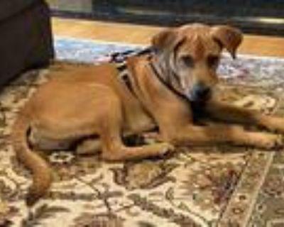 Adopt Blue Moon a Tan/Yellow/Fawn Labrador Retriever dog in Milton