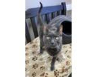 Whiskers, Russian Blue For Adoption In Madison, New Jersey