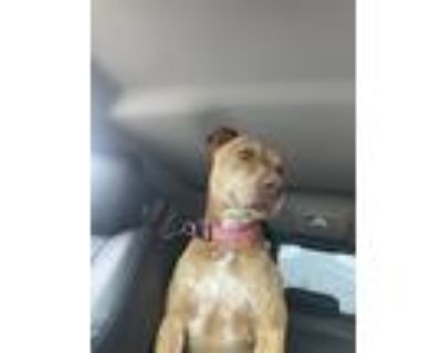 Adopt Marley a Brindle American Pit Bull Terrier / Mastiff / Mixed dog in New