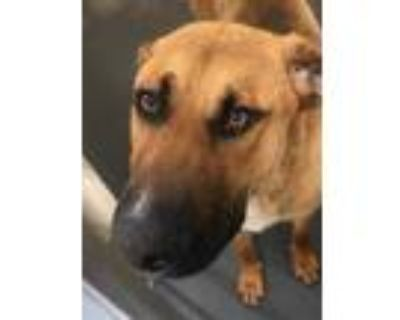 Adopt HOOPLAH a Brown/Chocolate - with Black Great Dane / Mixed dog in