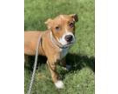 Adopt Chop a Tan/Yellow/Fawn American Pit Bull Terrier / Mixed dog in Newport