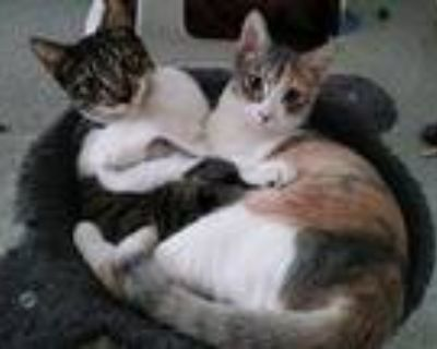 Adopt Snickers & Sonya fuzzy kitten a Cream or Ivory (Mostly) American Shorthair
