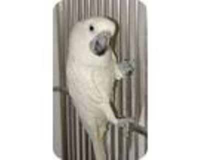 Mickey, Cockatoo For Adoption In Northbrook, Illinois