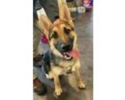 Adopt Lincoln a Black German Shepherd Dog / Mixed dog in Avon, IN (31522213)