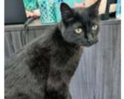 Adopt Prince Charming a All Black Domestic Shorthair (short coat) cat in Duluth