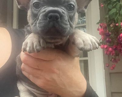 French Bulldog Puppies blue and blue tan color
